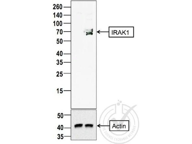 Western Blotting (WB) image for anti-IRAK1 antibody (Interleukin-1 Receptor-Associated Kinase 1) (AA 325-360) (ABIN1387749)