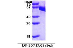 Image no. 1 for Dopa Decarboxylase (Aromatic L-Amino Acid Decarboxylase) (DDC) (AA 1-480) protein (His tag) (ABIN667092)