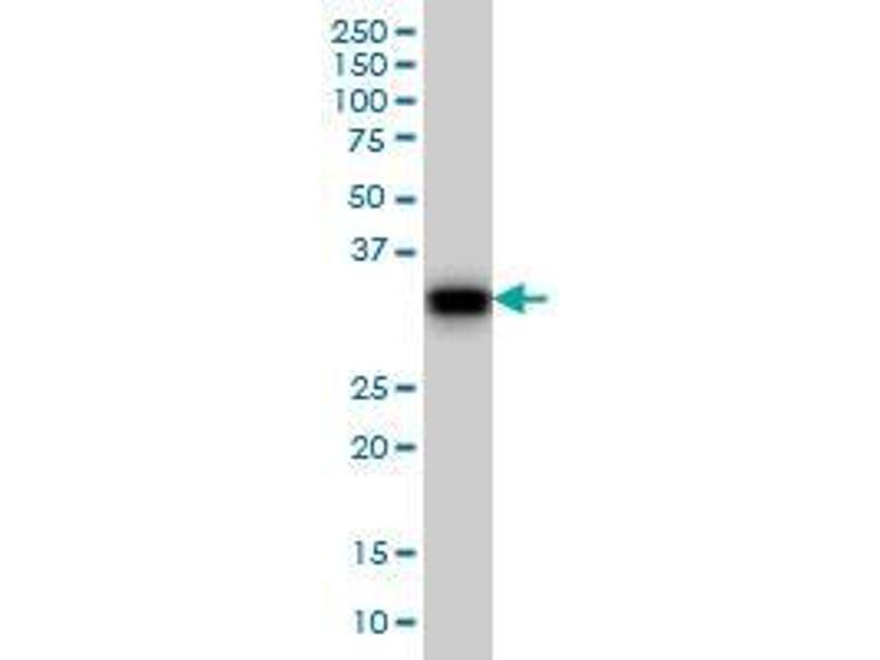 Immunohistochemistry (IHC) image for anti-Growth Arrest-Specific 2 (GAS2) (AA 1-111) antibody (ABIN393205)