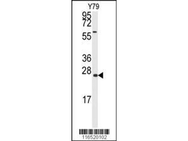 Western Blotting (WB) image for anti-GADD45A antibody (Growth Arrest and DNA-Damage-Inducible, alpha) (AA 1-30) (ABIN389281)