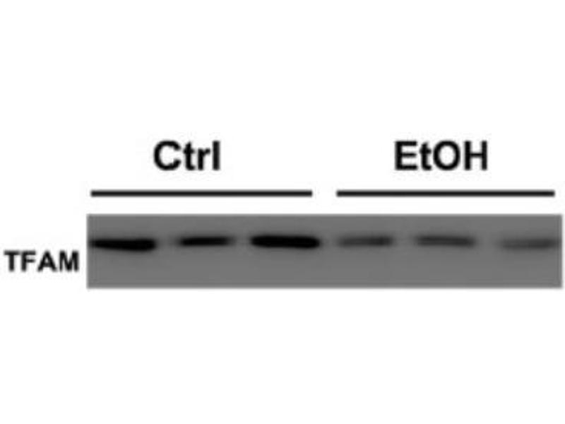 Western Blotting (WB) image for anti-Transcription Factor A, Mitochondrial (TFAM) antibody (ABIN4336018)