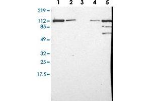 Image no. 1 for anti-Major Vault Protein (MVP) antibody (ABIN5584022)