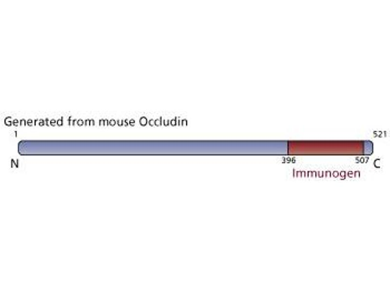 image for anti-Occludin antibody (OCLN) (AA 396-507) (ABIN968361)