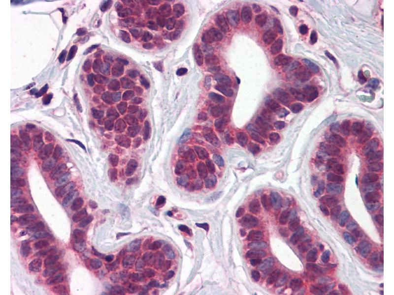 Immunohistochemistry (IHC) image for anti-T-Box 18 (TBX18) (C-Term) antibody (ABIN2780278)