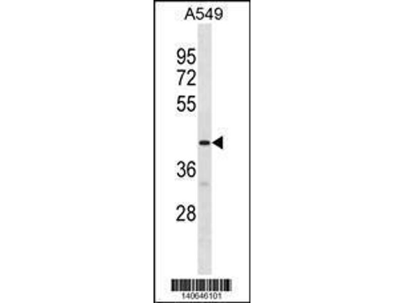 Western Blotting (WB) image for anti-G Protein-Coupled Receptor 52 (GPR52) (AA 218-245), (C-Term) antibody (ABIN1881387)