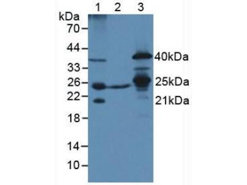 Western Blotting (WB) image for anti-Transcription Factor A, Mitochondrial (TFAM) (AA 43-243) antibody (ABIN1860703)