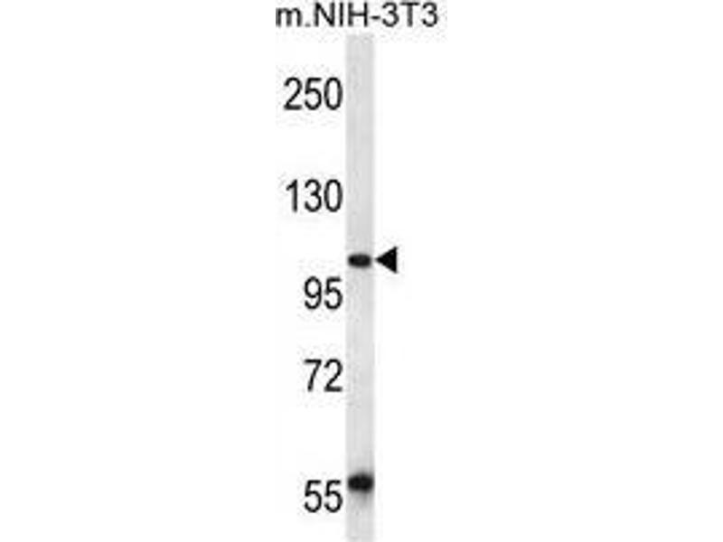 Western Blotting (WB) image for anti-Ubiquitin Associated Protein 2 (UBAP2) (AA 151-181), (N-Term) antibody (ABIN955421)