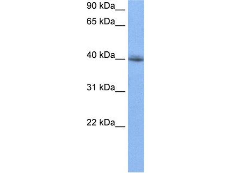 Western Blotting (WB) image for anti-RNA Binding Motif Protein 9 (RBM9) (N-Term) antibody (ABIN2778754)