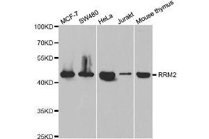 Image no. 1 for anti-Ribonucleotide Reductase M2 (RRM2) antibody (ABIN6147265)