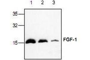 Western Blotting (WB) image for anti-FGF1 antibody (Fibroblast Growth Factor 1 (Acidic)) (ABIN223523)