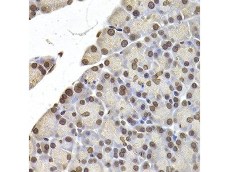 Immunohistochemistry (IHC) image for anti-Lamin B2 (LMNB2) antibody (ABIN2563696)