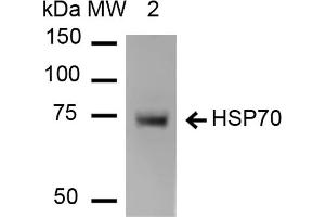 Western Blotting (WB) image for anti-Heat Shock Protein 70 (HSP70) antibody (Atto 594) (ABIN5066933)