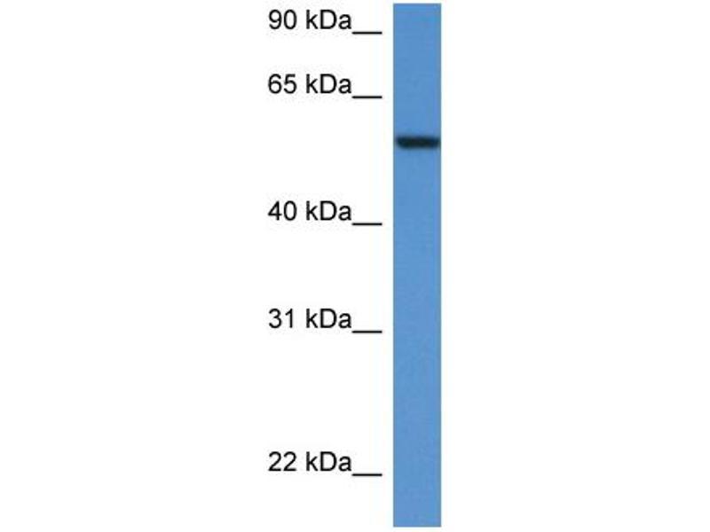 Western Blotting (WB) image for anti-SRC antibody (V-Src Sarcoma (Schmidt-Ruppin A-2) Viral Oncogene Homolog (Avian)) (N-Term) (ABIN2779669)