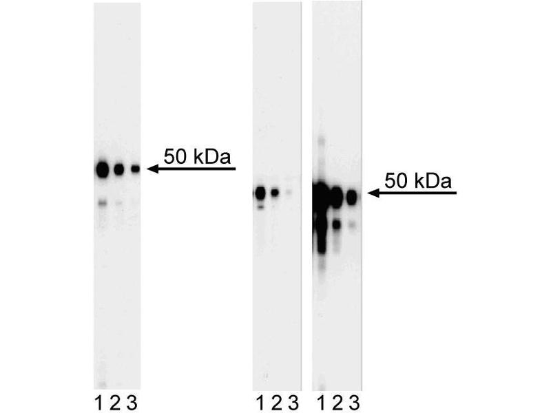 Western Blotting (WB) image for anti-GATA Binding Protein 3 (GATA3) antibody (ABIN967621)