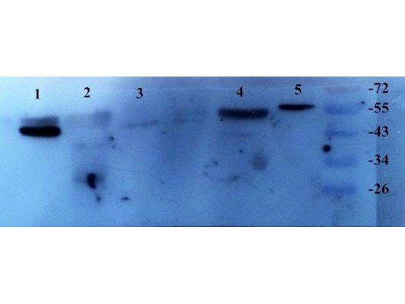 Western Blotting (WB) image for anti-TGFB1 antibody (Transforming Growth Factor, beta 1) (N-Term) (ABIN2506704)