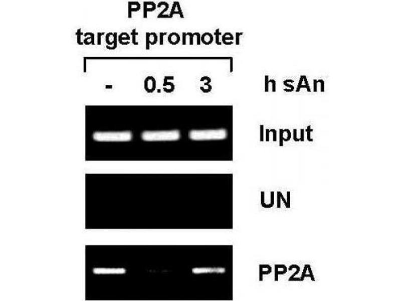 Chromatin Immunoprecipitation (ChIP) image for anti-Protein Phosphatase 2A Activator, Regulatory Subunit 4 (PPP2R4) (AA 288-303) antibody (ABIN2668597)