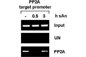 Chromatin Immunoprecipitation (ChIP) image for anti-PPP2R4 antibody (Protein Phosphatase 2A Activator, Regulatory Subunit 4) (AA 288-303) (ABIN2668597)