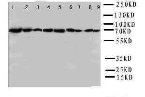 Image no. 1 for anti-Heat Shock 70kDa Protein 8 (HSPA8) (AA 13-31), (N-Term) antibody (ABIN3044300)