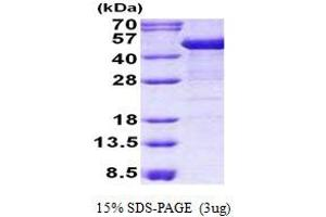 Image no. 1 for Keratin 19 (KRT19) protein (His tag) (ABIN1098759)
