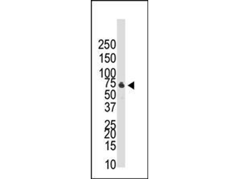 Western Blotting (WB) image for anti-BMPR1B antibody (Bone Morphogenetic Protein Receptor, Type IB) (AA 472-502) (ABIN388739)