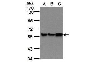 Image no. 5 for anti-Prolyl 4-Hydroxylase, beta Polypeptide (P4HB) (Center) antibody (ABIN2855054)