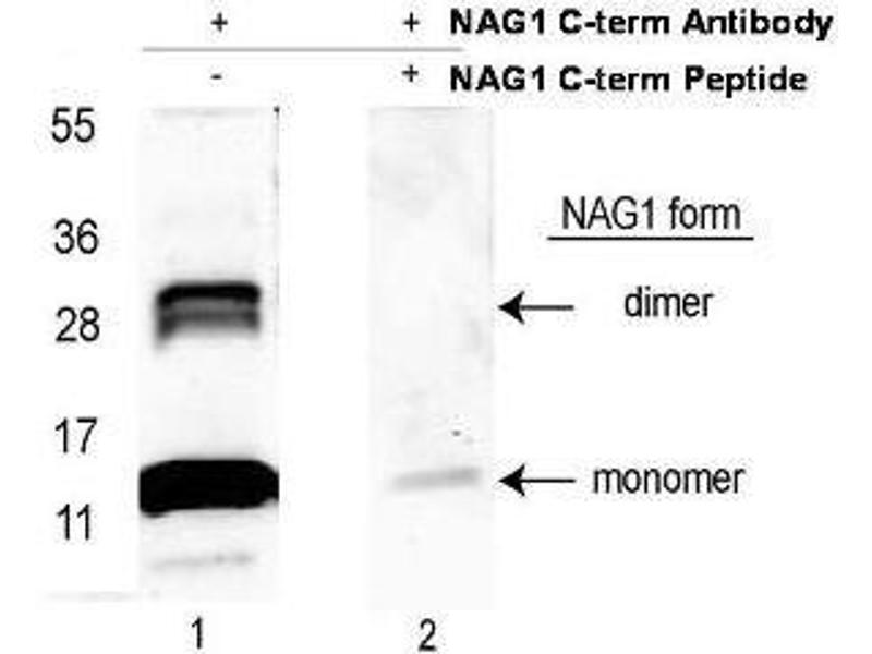 Western Blotting (WB) image for anti-Growth Differentiation Factor 15 (GDF15) (C-Term) antibody (Biotin) (ABIN1043920)