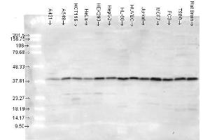 Image no. 2 for anti-Mitogen-Activated Protein Kinase 14 (MAPK14) antibody (HRP) (ABIN2486599)