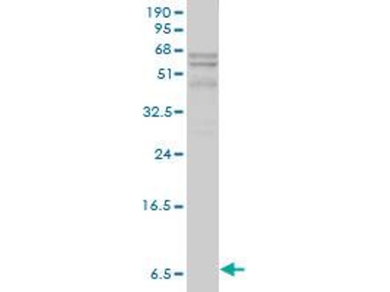 Western Blotting (WB) image for anti-Apolipoprotein C-I (APOC1) (AA 1-83), (full length) antibody (ABIN559900)