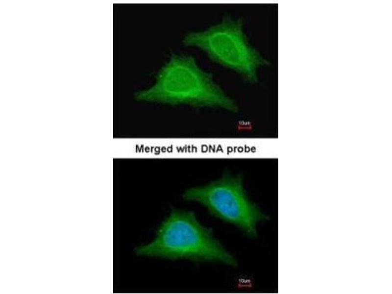 Immunofluorescence (IF) image for anti-Protein Kinase, AMP-Activated, gamma 2 Non-Catalytic Subunit (PRKAG2) (full length) antibody (ABIN2856652)