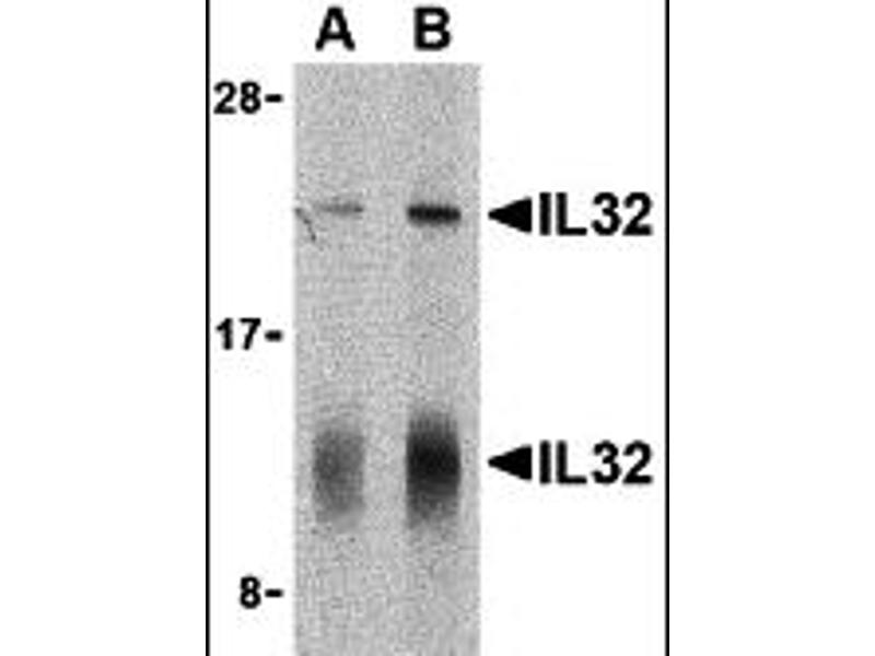Image no. 2 for anti-Interleukin 32 (IL32) (C-Term) antibody (ABIN1030437)