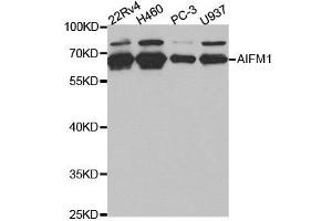 Western Blotting (WB) image for anti-Apoptosis-Inducing Factor, Mitochondrion-Associated, 1 (AIFM1) antibody (ABIN1870886)