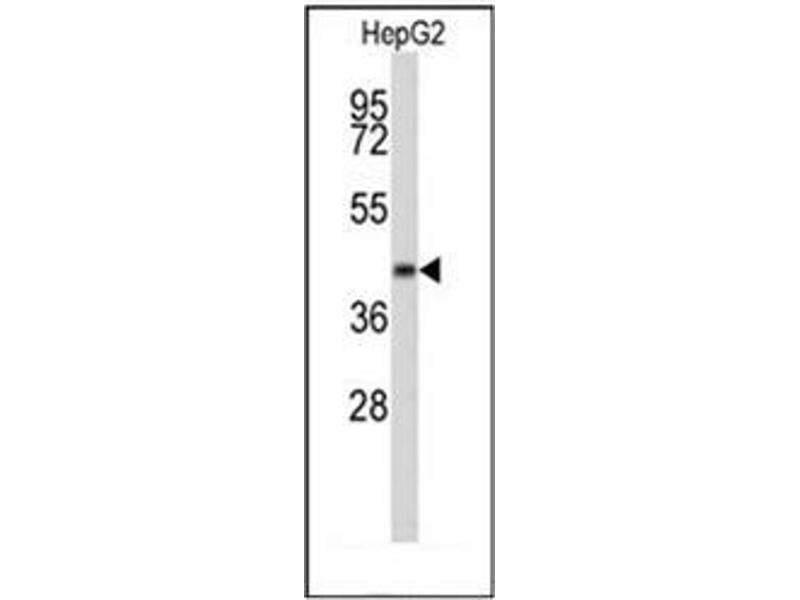 Western Blotting (WB) image for anti-ERGIC and Golgi 3 (ERGIC3) (AA 1-30), (N-Term) antibody (ABIN952105)