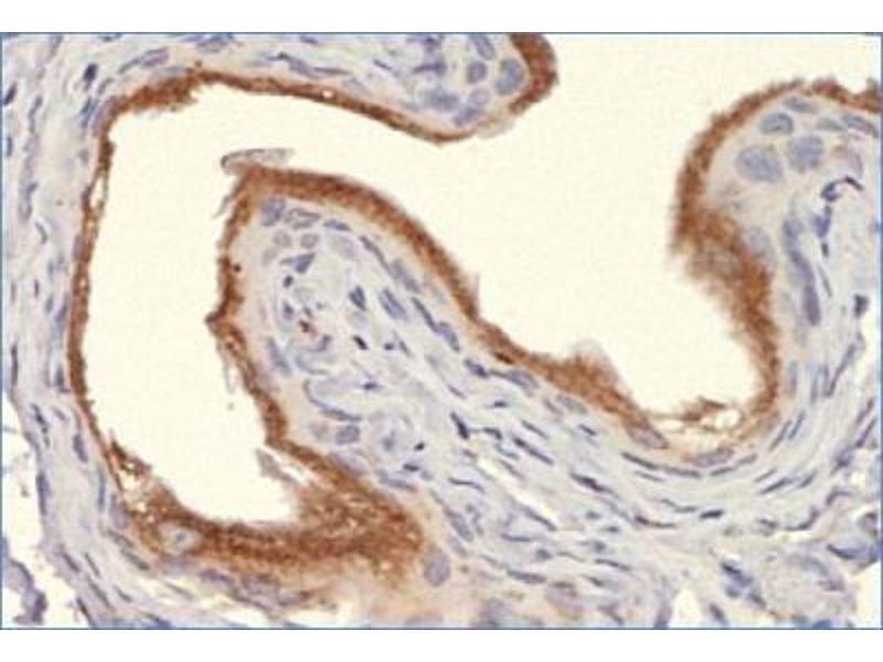Immunohistochemistry (IHC) image for anti-Calnexin antibody (CANX) (C-Term) (ABIN151474)