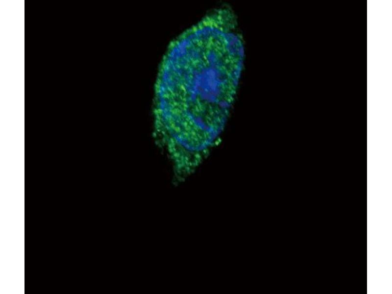 Immunofluorescence (IF) image for anti-JAK2 antibody (Janus Kinase 2) (C-Term) (ABIN2489348)