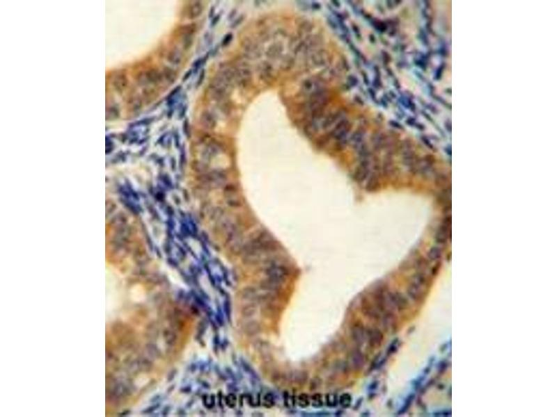 Immunohistochemistry (Paraffin-embedded Sections) (IHC (p)) image for anti-Adenosylhomocysteinase (AHCY) (AA 86-118), (N-Term) antibody (ABIN950286)