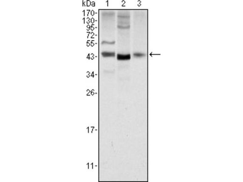Western Blotting (WB) image for anti-Wingless-Type MMTV Integration Site Family, Member 1 (WNT1) antibody (ABIN1846734)