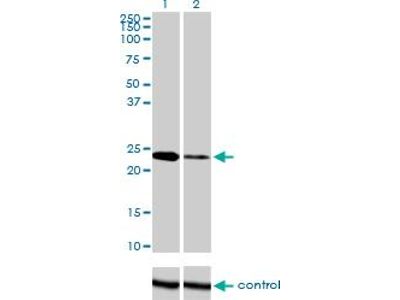 Western Blotting (WB) image for anti-Twist Homolog 1 (Drosophila) (TWIST1) (AA 100-202), (partial) antibody (ABIN563296)