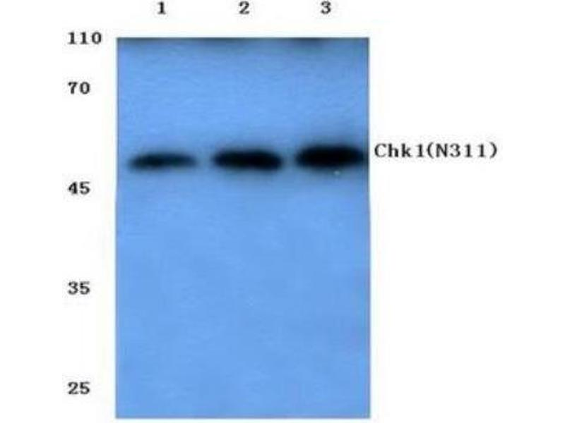 Western Blotting (WB) image for anti-Checkpoint Kinase 1 (CHEK1) antibody (ABIN407619)