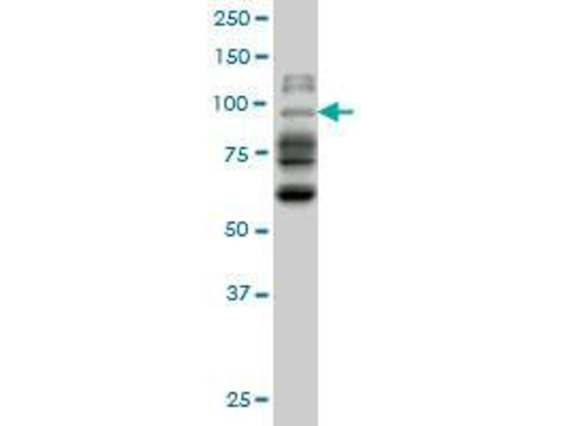 Western Blotting (WB) image for anti-Neighbor of BRCA1 Gene 1 (NBR1) (AA 2-97) antibody (ABIN396674)