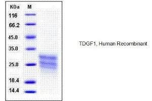 Image no. 1 for Teratocarcinoma-Derived Growth Factor 1 (TDGF1) (AA 1-172) (Active) protein (His tag) (ABIN1525772)
