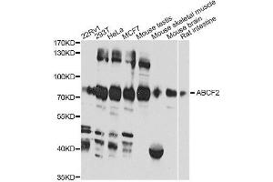 Image no. 1 for anti-ATP-Binding Cassette, Sub-Family F (GCN20), Member 2 (ABCF2) antibody (ABIN6136373)