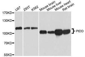 Image no. 1 for anti-P53-Induced Death Domain Protein (PIDD) antibody (ABIN1680710)