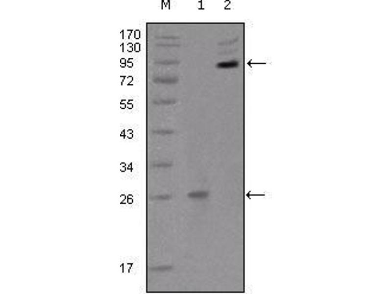 Western Blotting (WB) image for anti-EPH Receptor B2 (EPHB2) (AA 17-200) antibody (ABIN1724695)