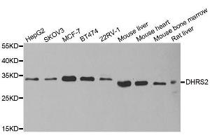 Image no. 1 for anti-Dehydrogenase/reductase (SDR Family) Member 2 (DHRS2) antibody (ABIN6139594)