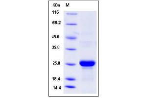 Image no. 1 for C-Type Lectin Domain Family 3, Member B (CLEC3B) (AA 1-202) protein (His tag) (ABIN2008186)