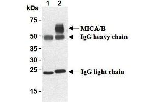 Western Blotting (WB) image for anti-MHC Class I Polypeptide-Related Sequence A (MICA) antibody (ABIN1108243)