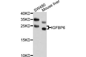 Image no. 2 for anti-Insulin-Like Growth Factor Binding Protein 6 (IGFBP6) antibody (ABIN4904018)
