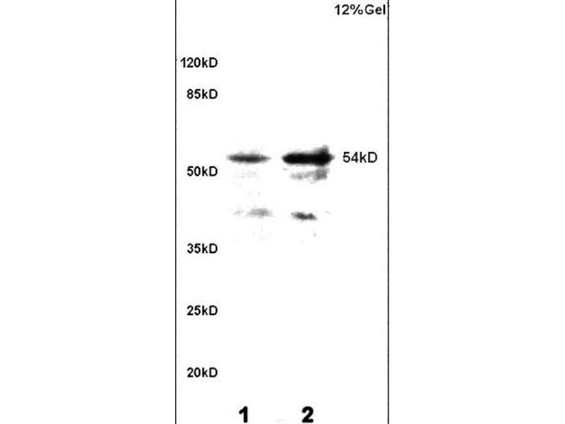 SDS-PAGE (SDS) image for anti-Calcium/calmodulin-Dependent Protein Kinase II gamma (CAMK2G) (AA 275-290), (pThr287) antibody (ABIN732473)