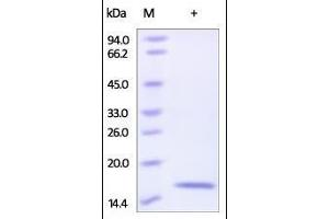 Image no. 1 for Regenerating Islet-Derived Family, Member 4 (REG4) (AA 23-158) protein (His tag) (ABIN2181689)