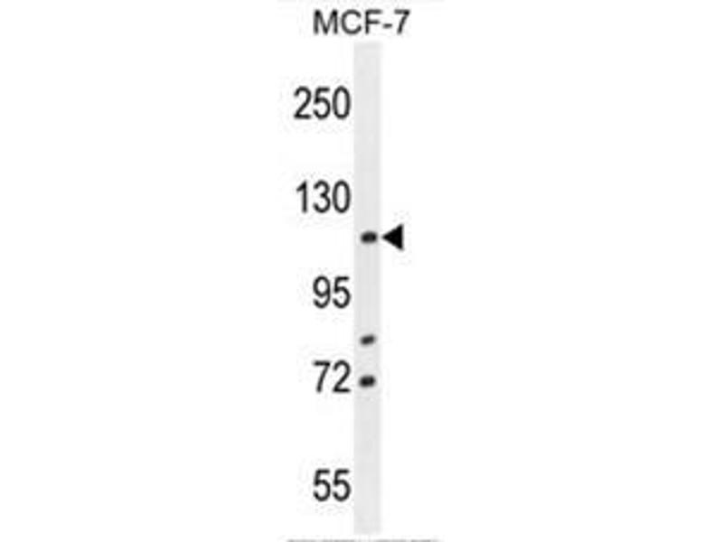 Western Blotting (WB) image for anti-BCL2-Associated Transcription Factor 1 (BCLAF1) (AA 658-688), (C-Term) antibody (ABIN950638)